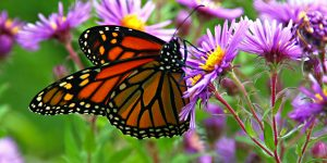 Monarch_Butterfly_low