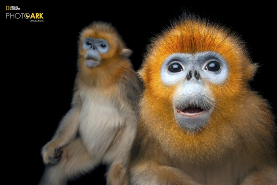 Two Golden snub-nosed monkeys, Rhinopithecus roxellana, at Ocean Park Hong Kong.  © Photo by Joel Sartore/National Geographic Photo Ark