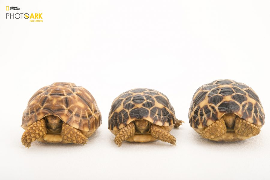 Three critically endangered, yearling Burmese star tortoises, Geochelone platynota, at the Turtle Conservancy.  © Photo by Joel Sartore/National Geographic Photo Ark