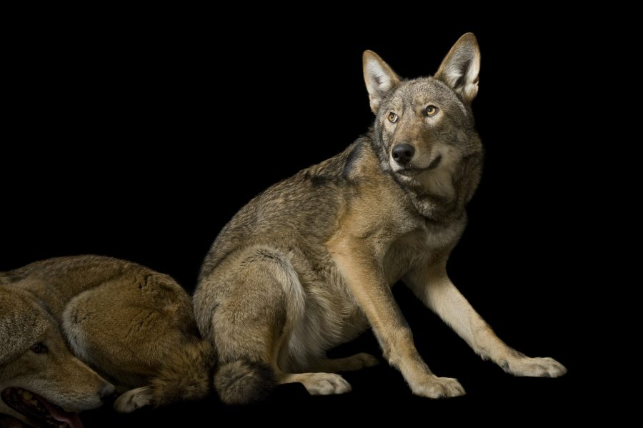 A pair of red wolves, Canis rufus gregoryi, at the Great Plains Zoo.  © Photo by Joel Sartore/National Geographic Photo Ark
