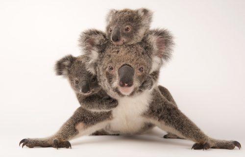 A federally threatened koala, Phascolarctos cinereus, with her babies at the Australia Zoo Wildlife Hospital.  © Photo by Joel Sartore/National Geographic Photo Ark