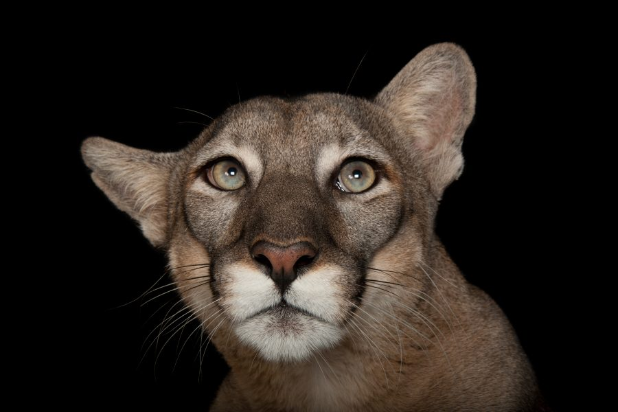 A federally endangered Florida panther, Puma concolor coryi, at Tampa's Lowry Park Zoo.  © Photo by Joel Sartore/National Geographic Photo Ark
