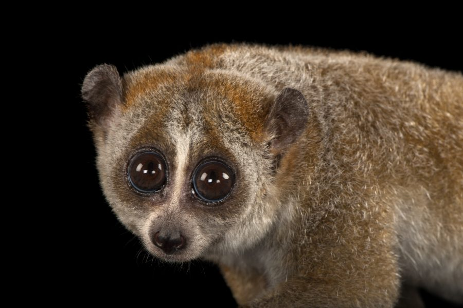 A pygmy slow loris, Nycticebus pygmaeus, at Omaha's Henry Doorly Zoo and Aquarium.  © Photo by Joel Sartore/National Geographic Photo Ark