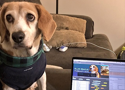 Ellie Beagle Therapy Dog